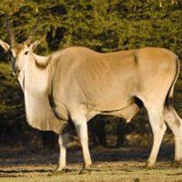Eland-bull